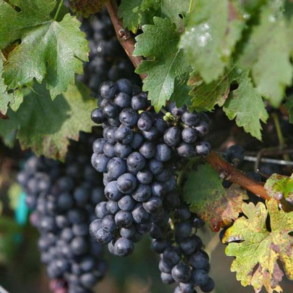 Виноград плодовый Каберне северный, фиолетовый в коробке Tim в Москве и области – купить по низкой цене в интернет-магазине Дарвин