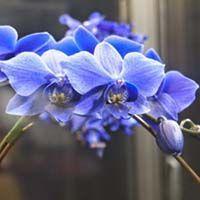 купить орхидею фаленопсис