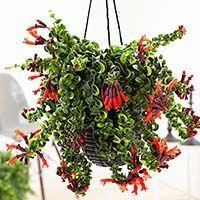 купить комнатное ампельное растение