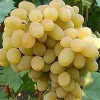 купить саженцы винограда августин