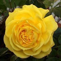 саженцы роз флорибунда