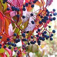 саженцы девичьего винограда
