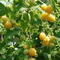 купить саженцы плодовых кустарников